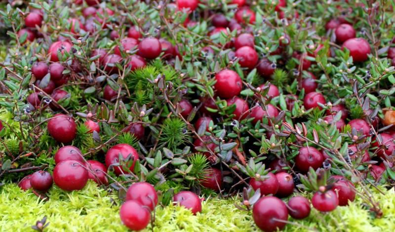 Клюква — яркая и многогранная ягода