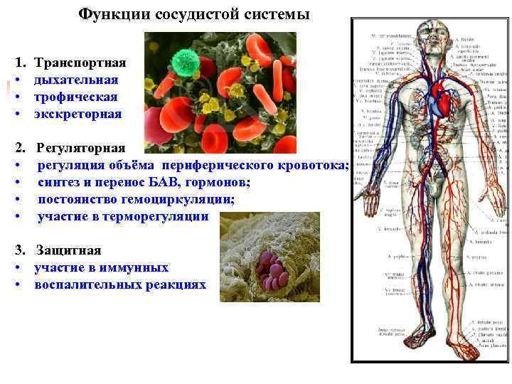 Артерии (анатомия) — строение, классификация, функции