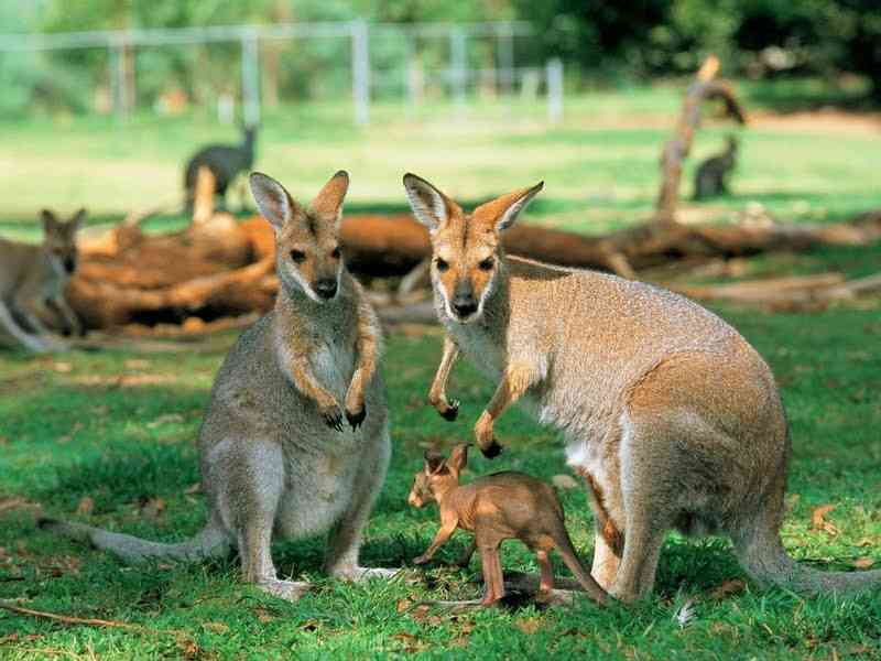 Исполинские кенгуру