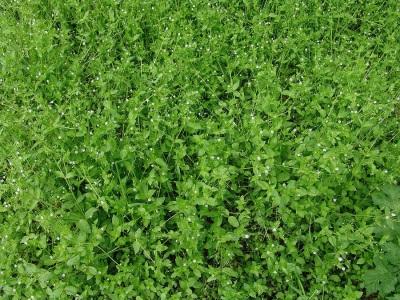 Трава мокрица (звездчатка): целебное действие, лечение и приготовление в домашних условиях
