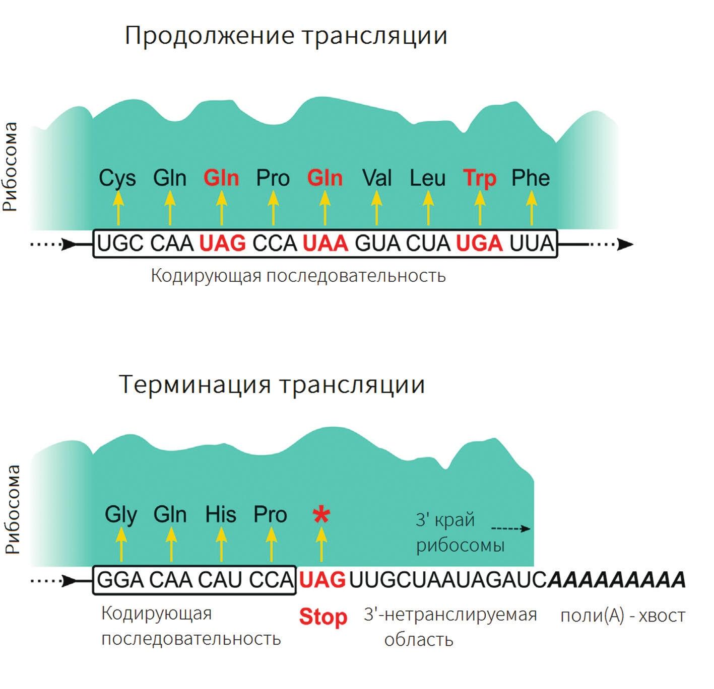 Старт-кодон — википедия. что такое старт-кодон