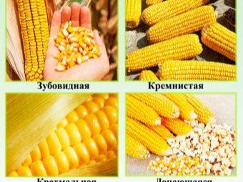 Что такое кукуруза