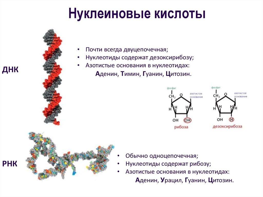 Нуклеиновые кислоты