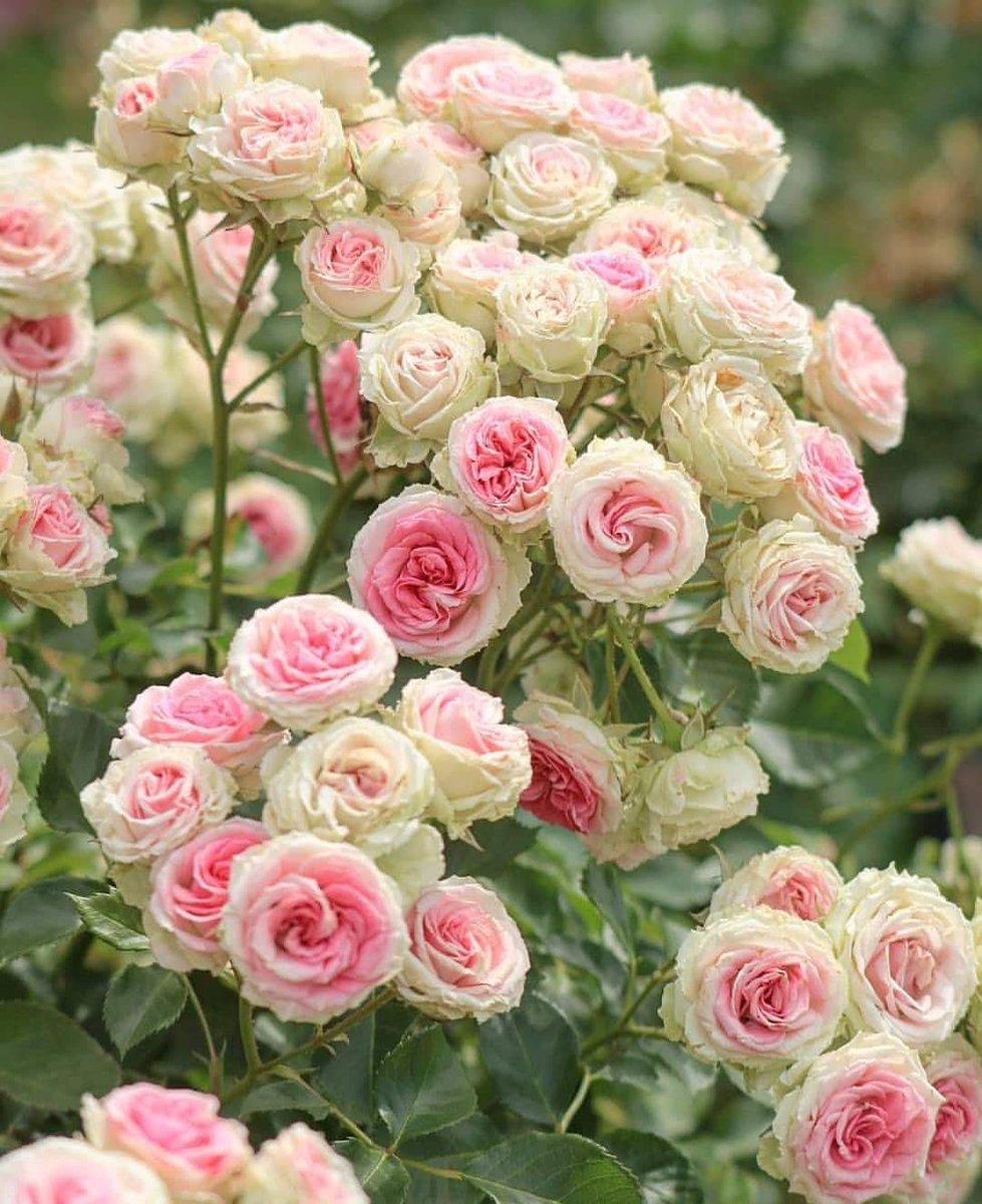 Роза спрей – что это, особенности, сорта, правила посадки и ухода за растением