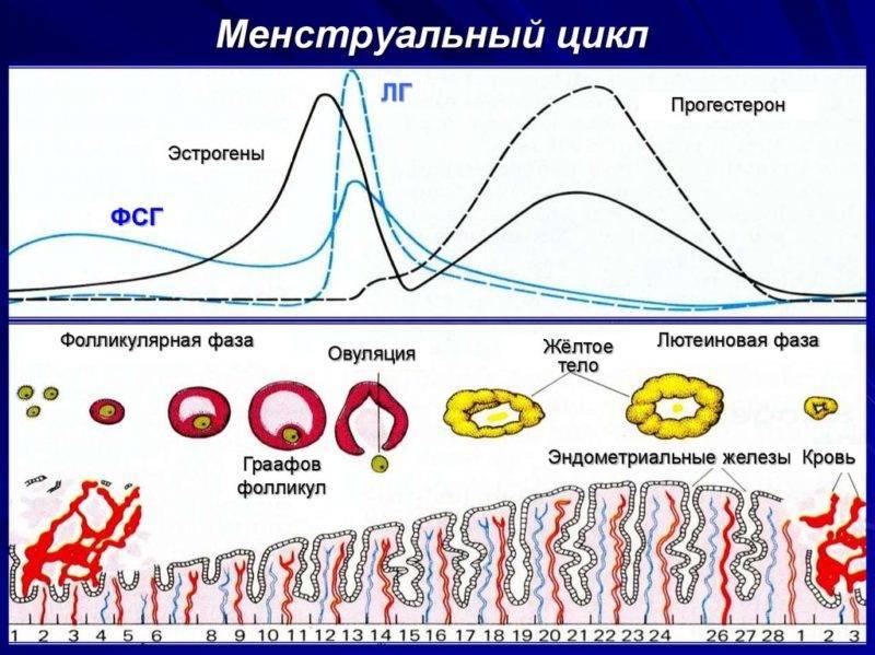 Лютеиновая фаза цикла