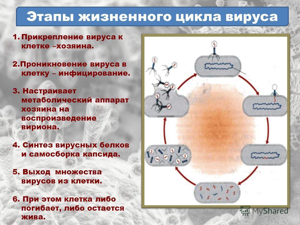 Жизненный цикл клетки – процессы деления в интерфазе (9 класс, биология)