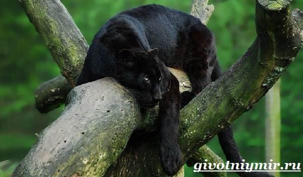 Чёрная пантера — википедия. что такое чёрная пантера