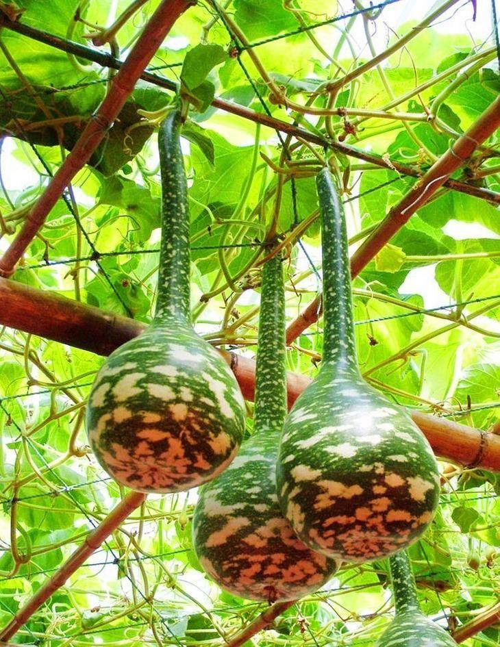 Выращивание лагенарии в огороде: посадка и уход за бутылочной тыквой