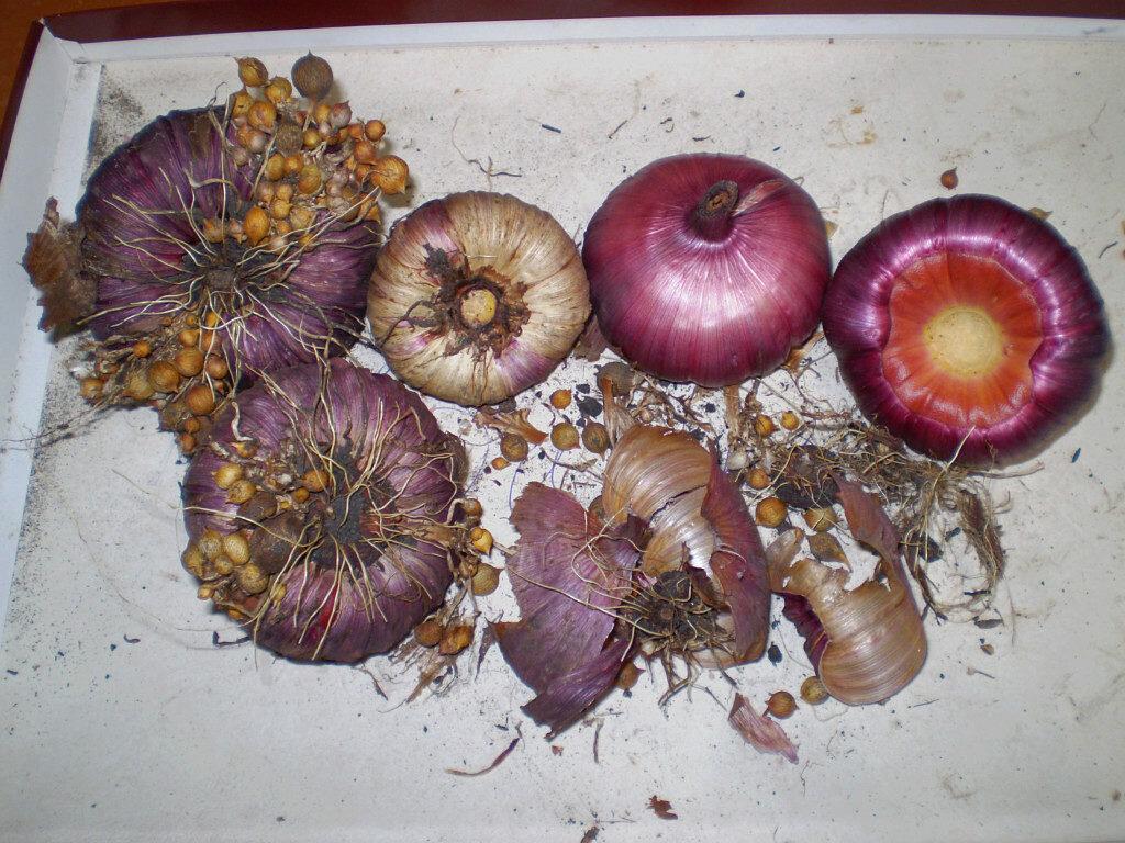 Гладиолусы: посадка и уход в открытом грунте, хранение луковиц, фото