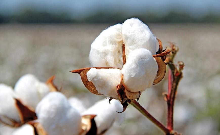 Что такое хлопок: все о хлопковом волокне. как выращивают, делают и используют хлопок?