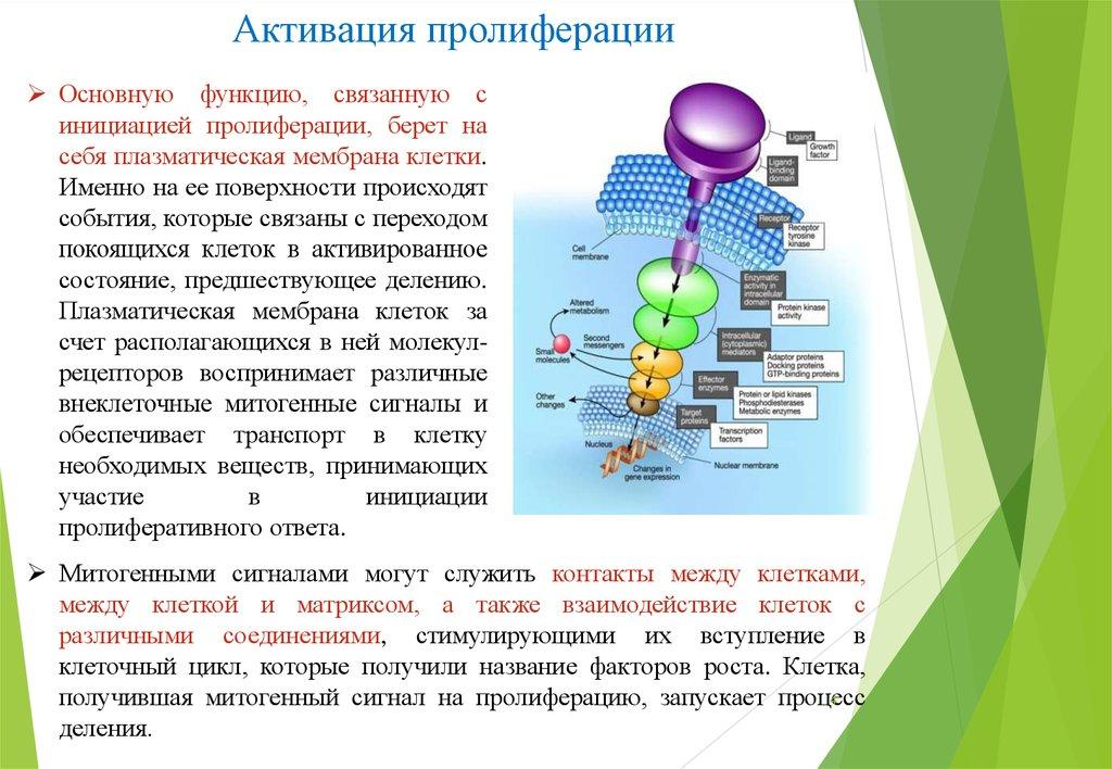 Пролиферация клеток эпителия