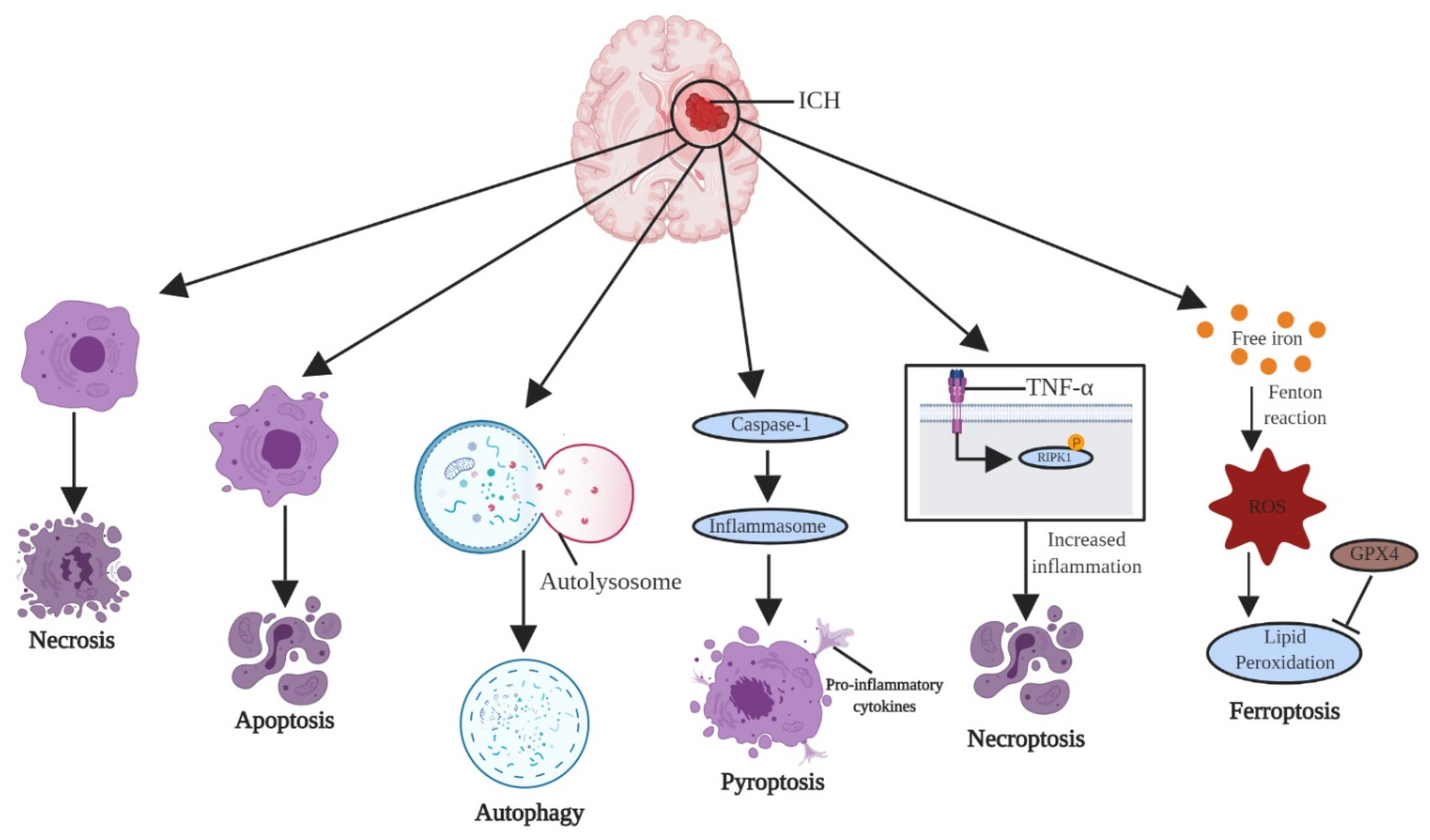 Апоптоз клетки. биологическое значение и его роль.