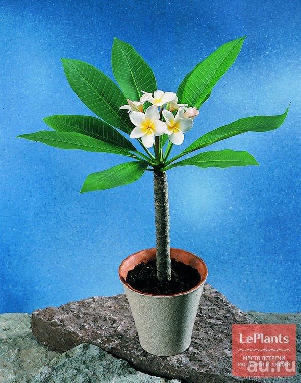Растение плюмерия (plumeria) комнатная