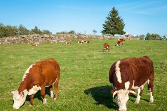 Крупный рогатый скот: это какие животные, описание и статистика