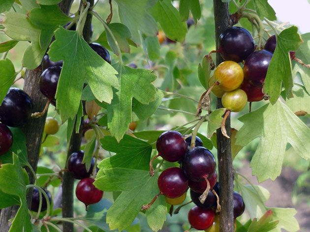 Ягода йошта —  основные правила посадки и уход за растением