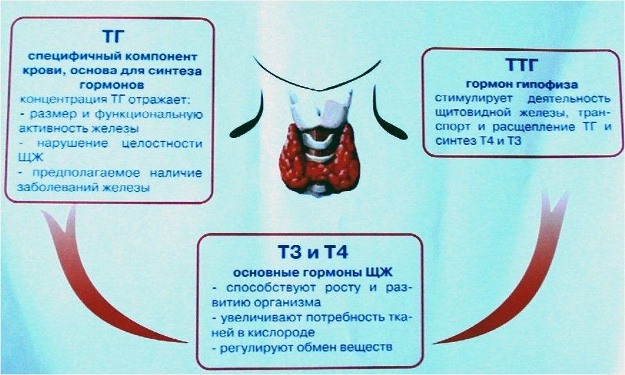 Расшифровка и нормы анализа крови на ттг, т3 и т4