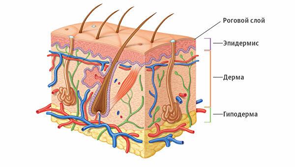 Что такое эпидермис? строение эпидермиса