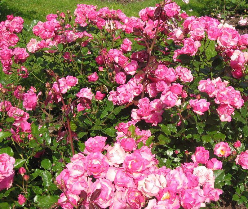 Полиантовые розы: описание и особенности выращивания