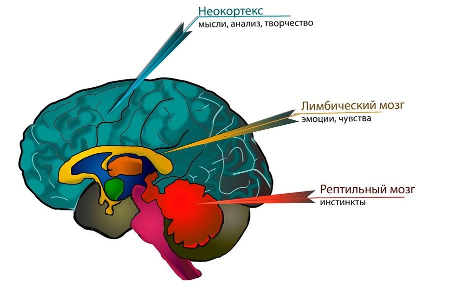 Три мозга: рептильный  мозг, лимбический мозг и неокортекс | творческая личность