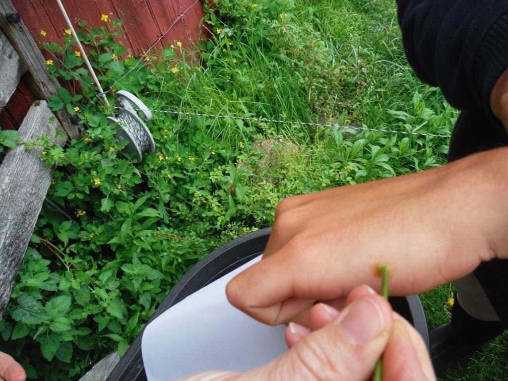 Чистотел - инструкция по применению, лечебные свойства и народные рецепты