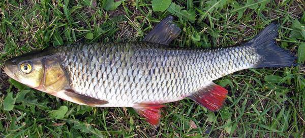 Что такое рыба усач: поведение вприроде икулинарная ценность