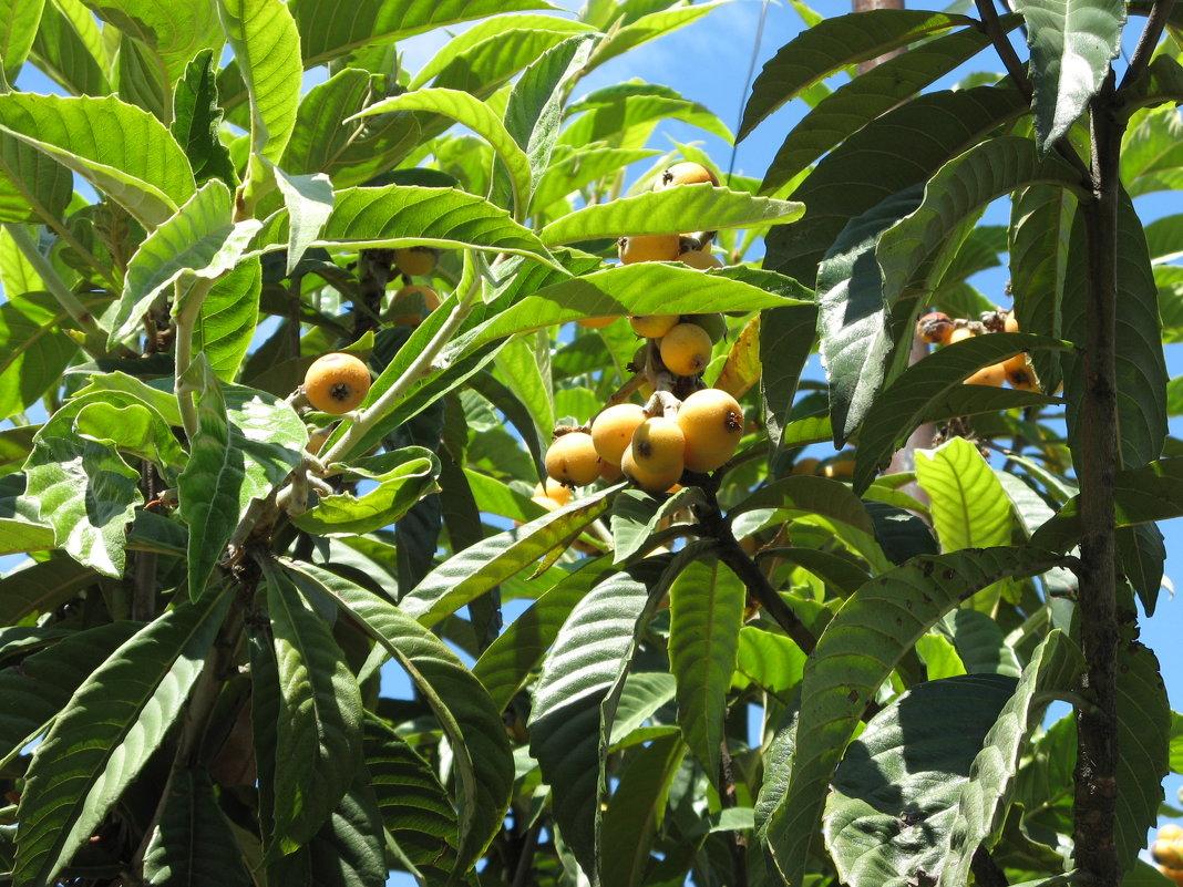 Германская мушмула: что это такое, где растёт и выращивание в домашних условиях