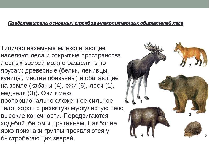 Млекопитающие - это какие животные?