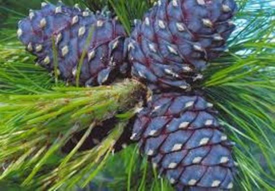 Кедр: описание дерева, применение его хвои и масла