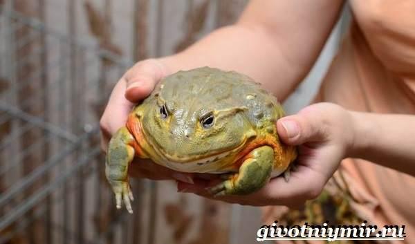 Лягушка: образ жизни,описание,размножение,виды,внешний вид,фото   аквариумные рыбки