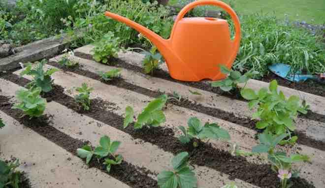 Ягоды кизила: полезные свойства и противопоказания