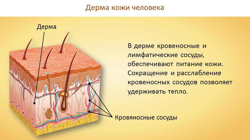 Строение и функции кожи человека