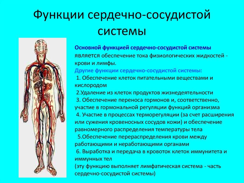 Анатомия артерии: определение, назначение, виды, строение и выполняемые функции