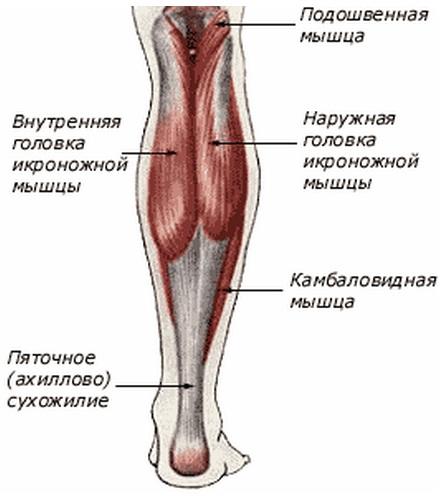 Строение ноги человека: суставы и кости, мышцы, сосуды, иннервация
