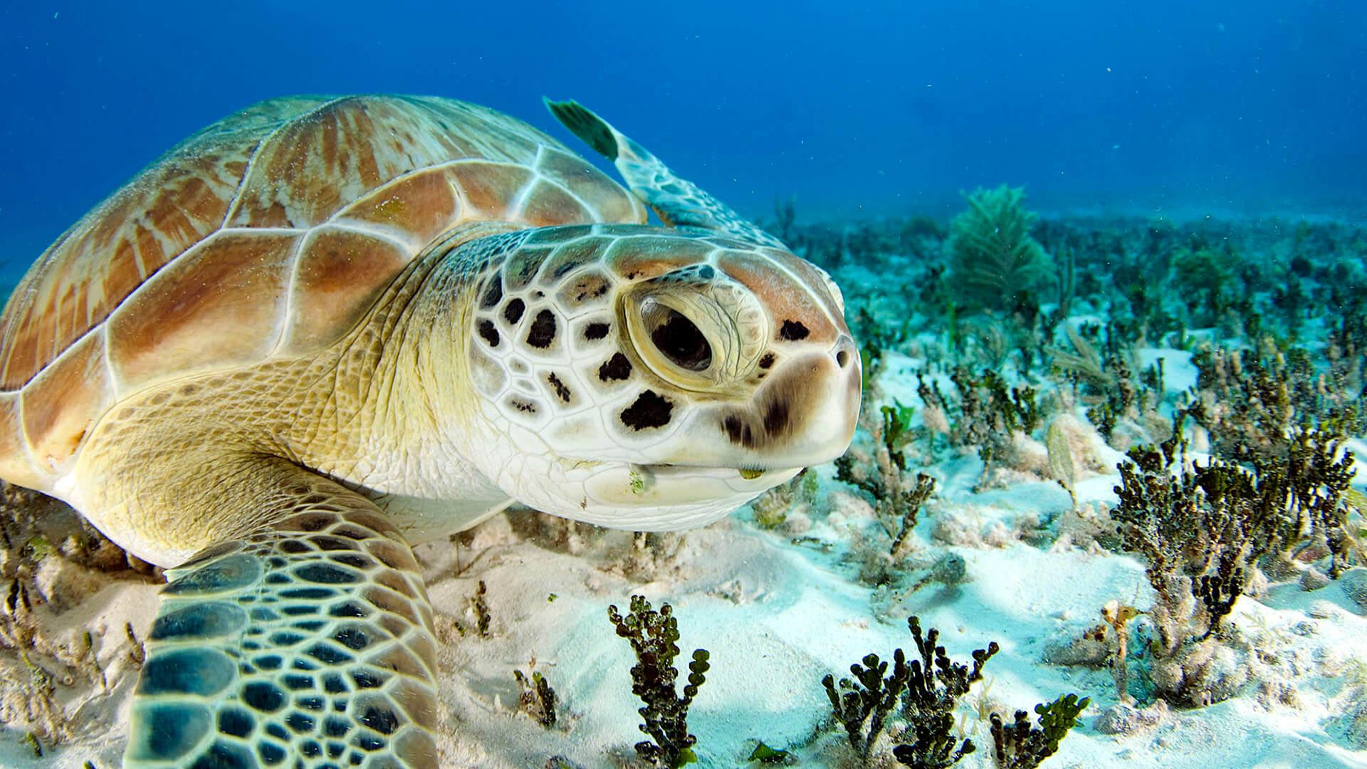 Морской огурец: описание, применение