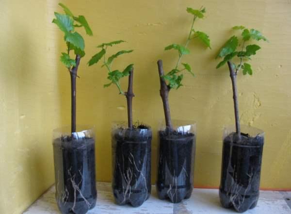 Что такое черенок, размножение черенкованием | wikibotanika.ru