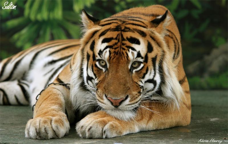 Тигры — виды с описанием