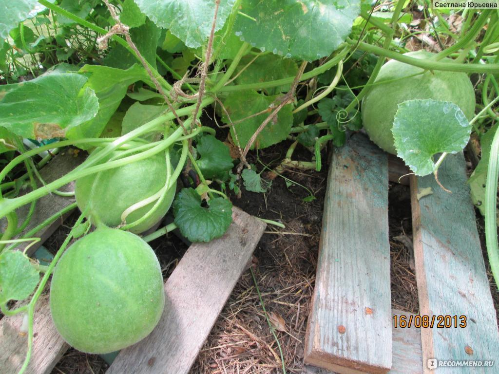 Гибрид дыни и огурца, которые можно вырастить на своем участке
