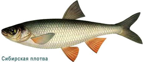Рыба плотва: 100 фото разновидностей, особенности вылова и варианты приготовления