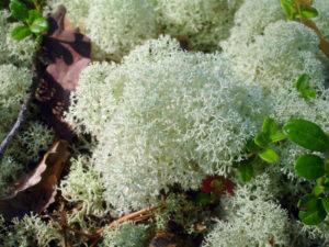 Ягель (олений мох)виды ягеля, полезные свойства, лечение ягелем