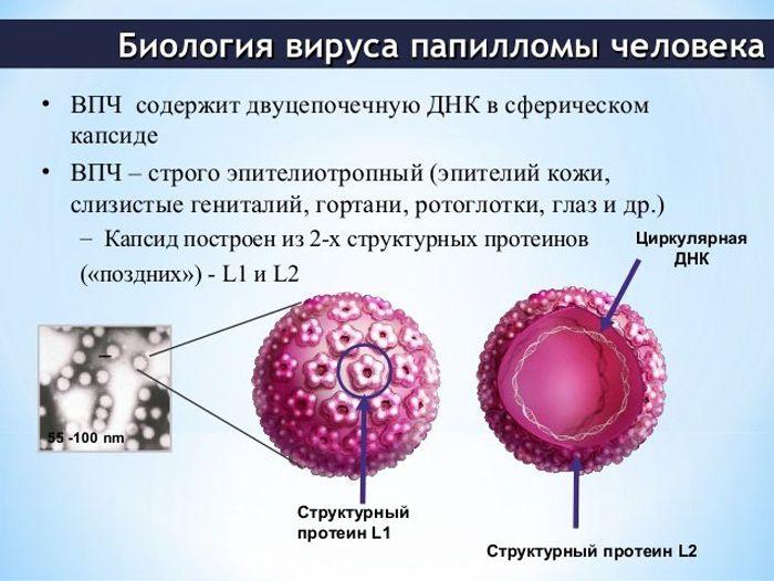 Папилломавирусы человека — википедия с видео // wiki 2