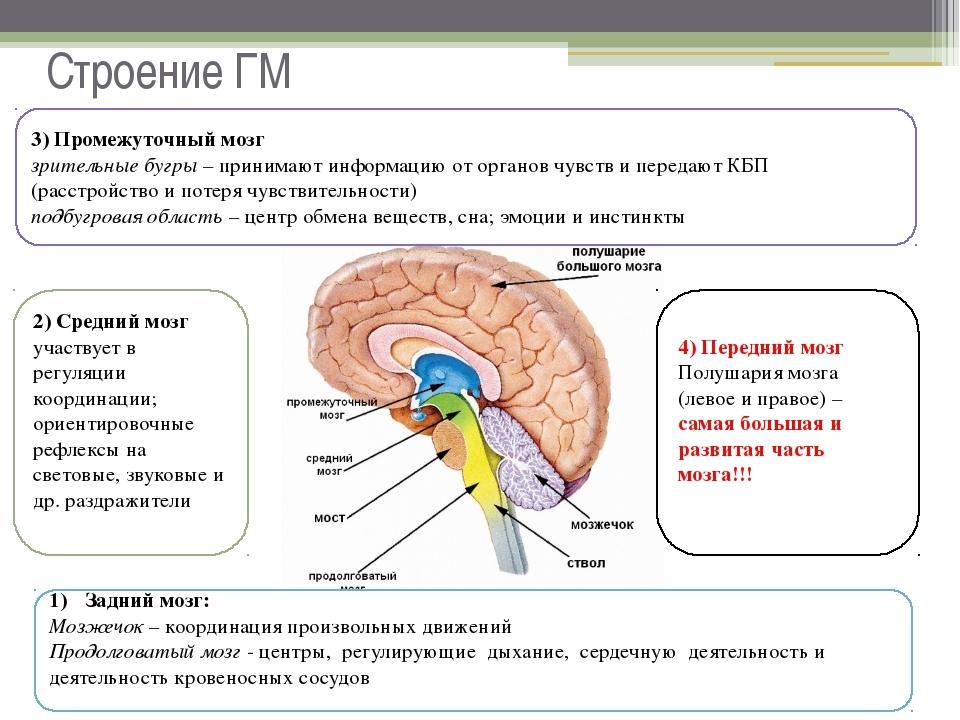 Головной мозг: строение и функции, общее описание