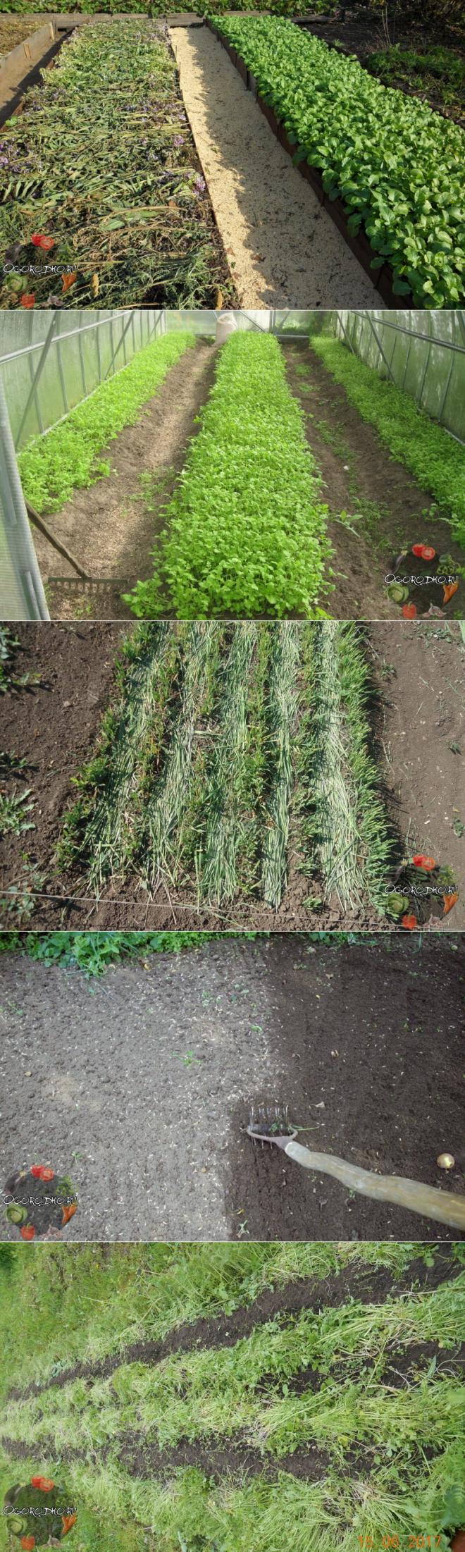 Сидераты (34 фото): какие лучше для огорода? что это такое? люцерна для клубники и масличная редька, другие растения. как их сеять?