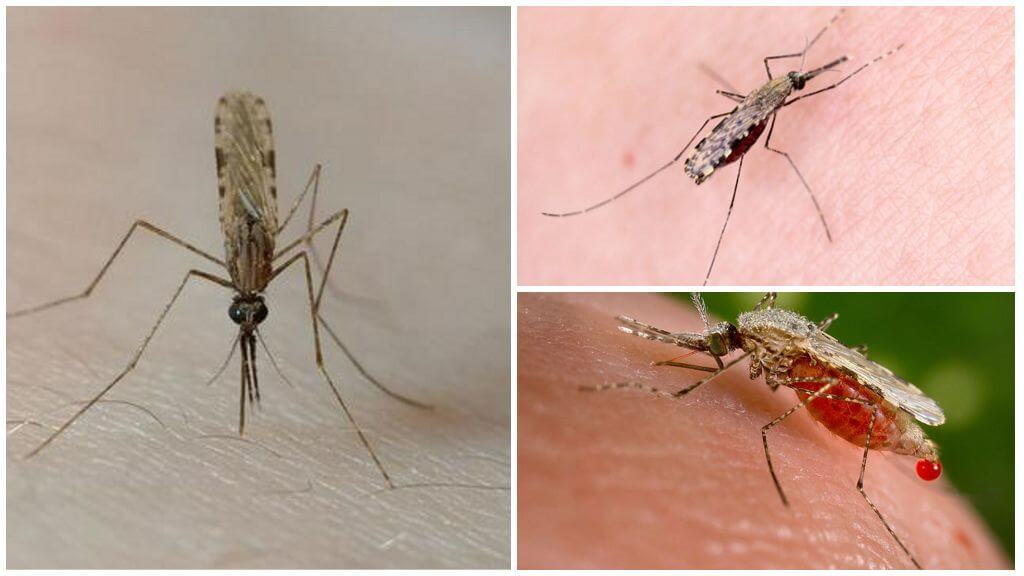 Кровососущие комары — википедия переиздание // wiki 2