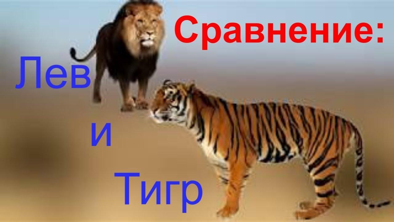Тигр. виды тигров, образ жизни царственных хищников