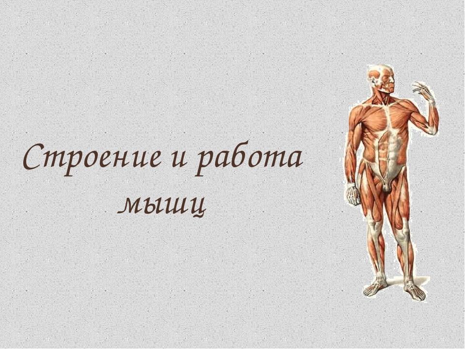 Мышцы — википедия