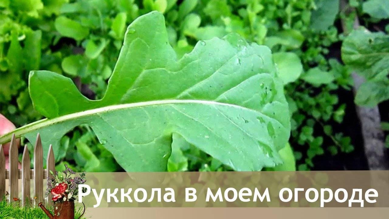 Руккола - посадка и выращивание. польза рукколы