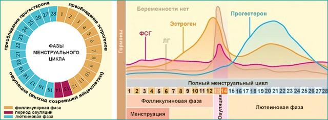 Фолликулярная и лютеиновая: как фазы цикла влияют на питание | vogue russia