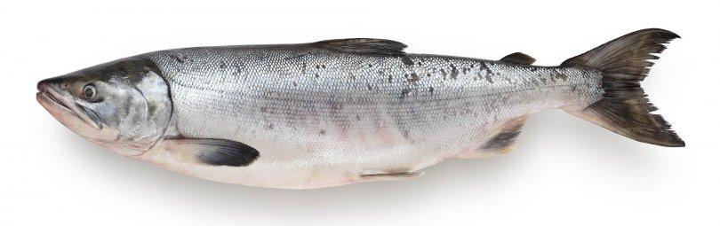 Рыба кета является проходной: размножается один раз в жизни