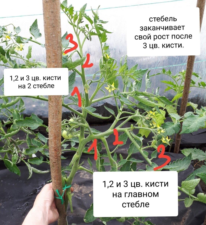 Когда икак пасынковать помидоры