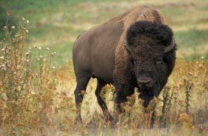 Як. образ жизни и среда обитания яка   животный мир